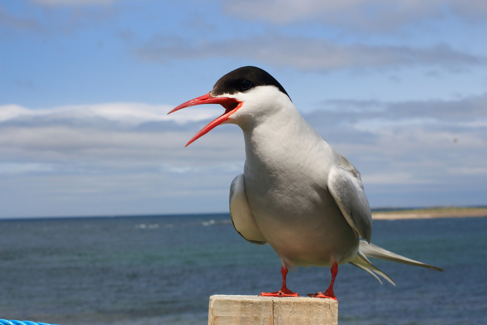 Kuva: Nuori lokki - Kalalokki Larus canus nuori lintu rantalinnut ...